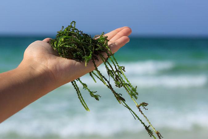 Kuivatatud merevetikat saab osta nii pulbrina kui tervena
